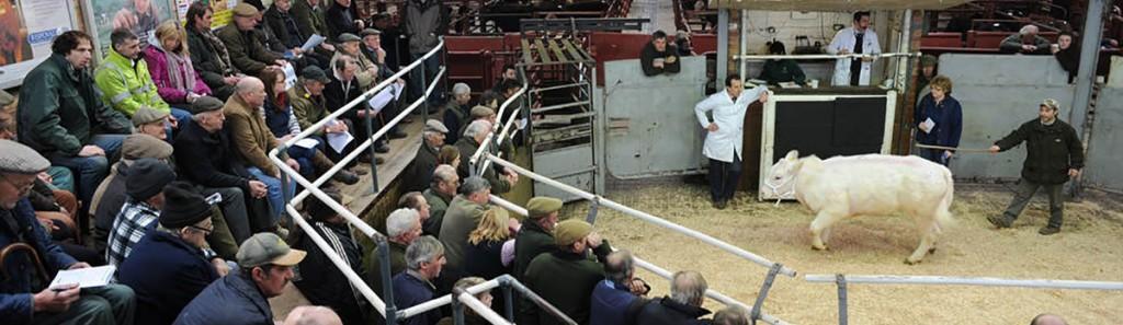 cattle-market