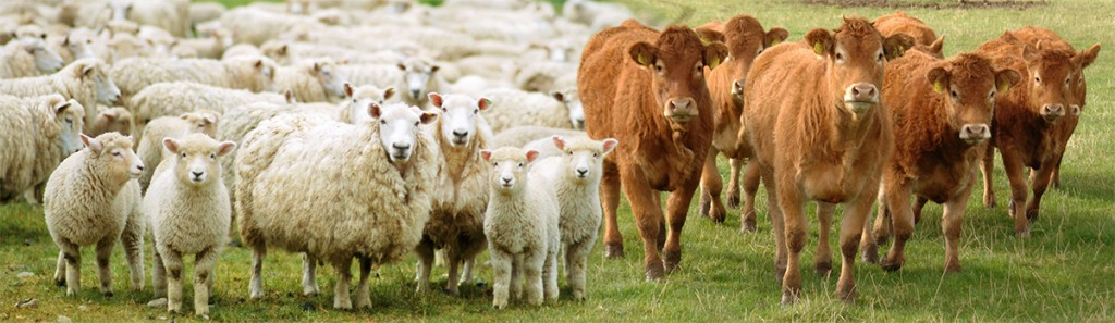 Malton Livestock Auctioneers